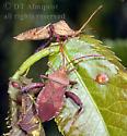 coreids - Euthochtha galeator