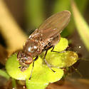 small fly on water plant - Coenia curvicauda