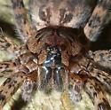 Huge spider - Dolomedes