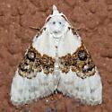 Sharp-blotched Nola Moth - Hodges#8989 - Nola pustulata