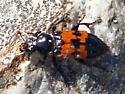 Nicrophorus sp.  - Nicrophorus marginatus