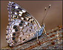 Brown/Gray Spotted Butterfly - Asterocampa celtis - female