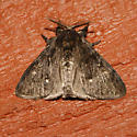 Western Pine Tussock MOth - Dasychira grisefacta - male
