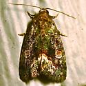 Small Mossy Lithacodia - Hodges #9051 (Lithacodia musta) - Lithacodia musta