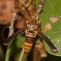 Grape Root Borer Moth - Hodges #2530 - Vitacea polistiformis - female