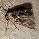 Sweetpotato Armyworm Moth - Spodoptera dolichos - female