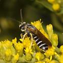 Bee - Halictus farinosus