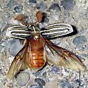 Ten-Lined June Beetle? - Polyphylla decemlineata - male