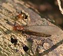Termites - Reticulitermes hageni