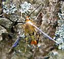 Moth? - Synanthedon acerni