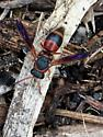 Wasp with purple wings; red, black, yellow body - Pachodynerus erynnis