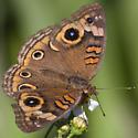 Mangrove Buckeye - Junonia genoveva