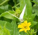 Garden White - Pieris rapae