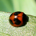small red, black beetle - Exochomus childreni
