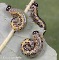sawfly larvae - Nematus