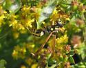 Bee/Wasp N. Central MA - Polistes dominula