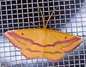 Geo Moth - Haematopis grataria - male