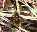 Bee Fly - Bombylius