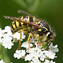 Wasp - Dolichovespula arenaria
