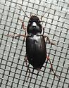 long skinny beetle - Harpalus