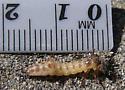 Tiger Beetle Larva