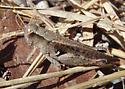 brown grasshopper - Aidemona azteca - male