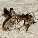 118  Inguromorpha sp.-- 2659.97? - Inguromorpha n-sp