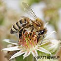Honey Bee Worker - Apis mellifera - female