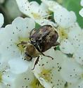 Unidentified Beetle - Hoplia