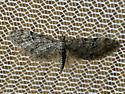 Eupithecia matheri/swettii? - Eupithecia