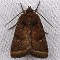 Unknown Noctuid - Pseudorthodes puerilis