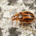 Striped flea beetle - Capraita subvittata