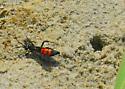 Spider wasp and burrow - Anoplius americanus - female