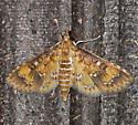 Water Hyacinth Moth - Niphograpta albiguttalis