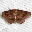 Purplish Metarranthis - Hodges #6828 - Metarranthis homuraria - male