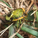 Green Stink Bug (Chinavia hilaris) nymph? - Chinavia hilaris
