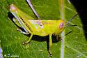 grasshopper nymph  ? instar  - Melanoplus differentialis