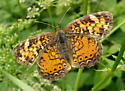 Crescent - Phyciodes - female
