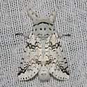 Black-etched Prominent - Hodges#7942 - Cerura scitiscripta