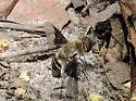 bee fly? - Paravilla