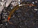 Bark Centipedes - Scolopendromorpha