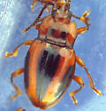 Striped Handsome Fungus Beetle - Aphorista vittata