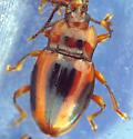 Striped Handsome Fungus Beetle - Aphorista vittata