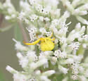 Whitebanded Crab Spider - Misumenoides formosipes