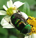 What is this gorgeous fly? - Ornidia obesa - male