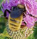 Yellow and Black Bumble Bee on Tall Thistle - Bombus pensylvanicus - male
