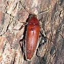 Darkling beetle ? - Synchroa punctata