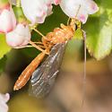 Wasp - Netelia
