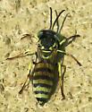 Microbembex monodonta