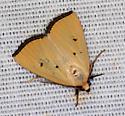 tan moth - Marimatha nigrofimbria